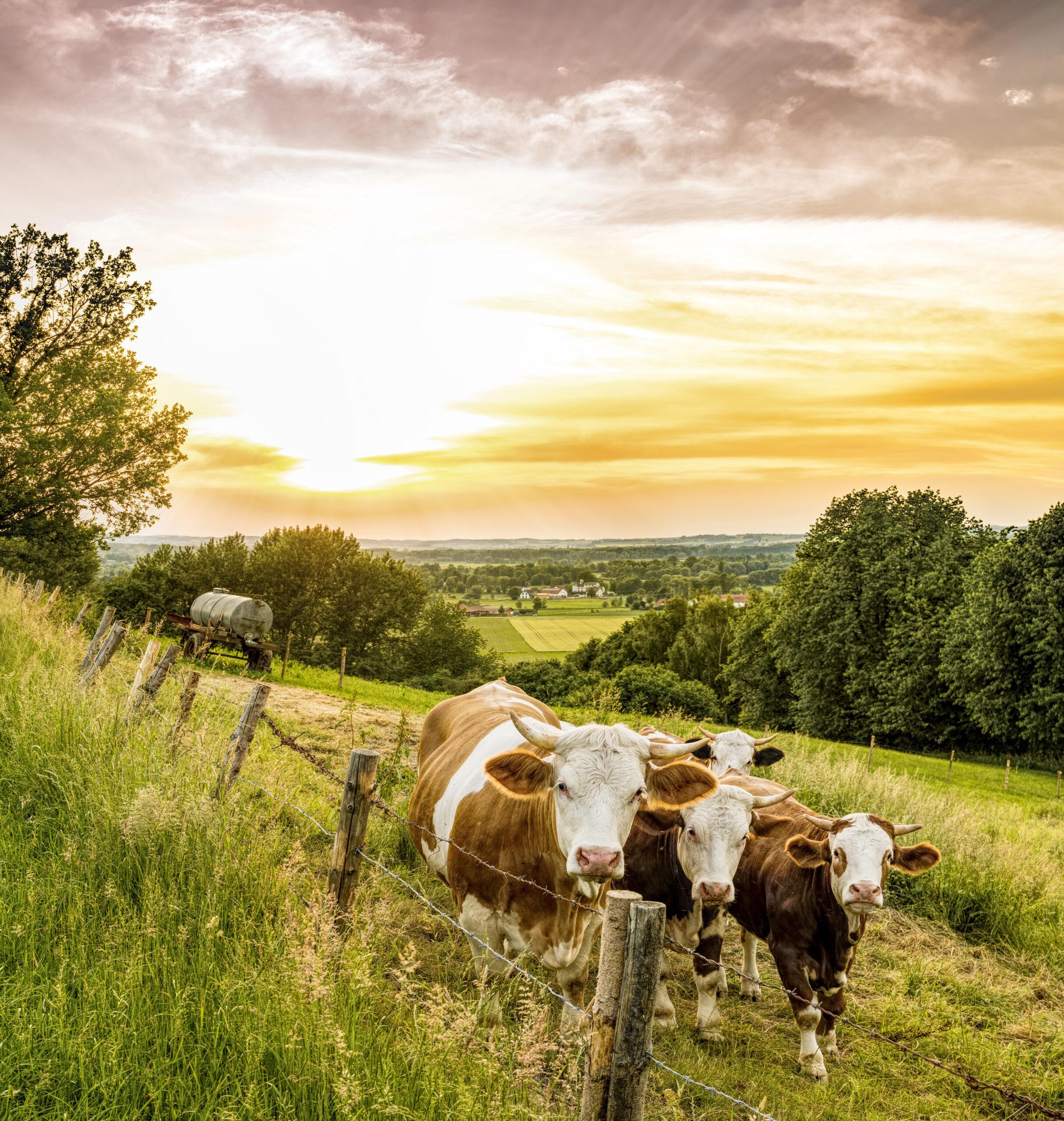 cows-3441672